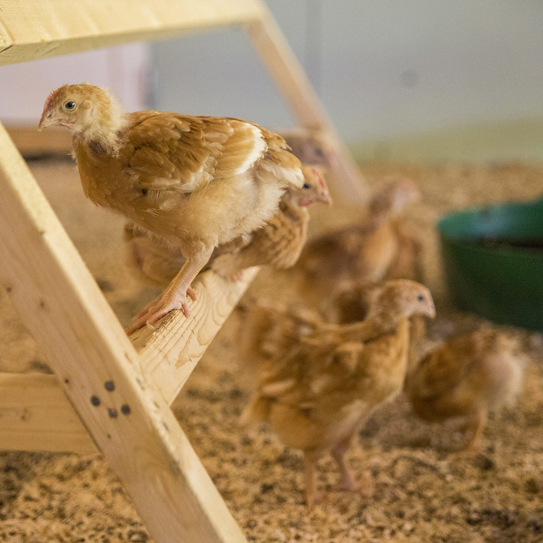 Kyllinger som klatrer i tretrapp innbefattes i Dyrevernalliansens matmerke for dyrevelferd