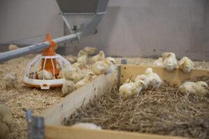 Kyllinger tusler rundt i en trekasse med hoy