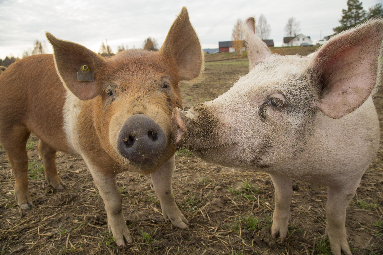 To griser som koser ute