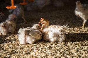 To kyllinger slappet i solen med andre kyllinger bakgrunnen
