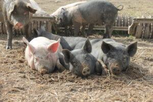 Tre griser som ligger i halm ute
